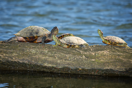 riparian: Red-eared Slider pond turtles Trachemys scripta elegans basking on a log in Maryland during the Spring