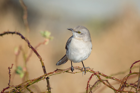 ruiseñor: Northern Mockingbird Mimus polyglottos perching on a twig in Maryland during the Spring