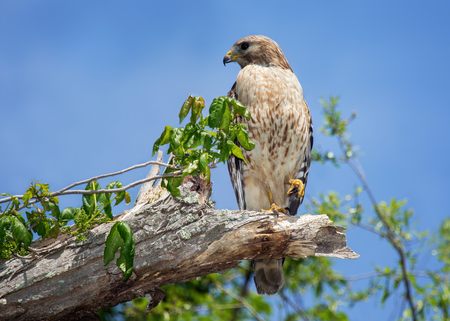 shouldered: Red-shouldered Hawk Buteo lineatus perching in a tree in Maryland during the Spring