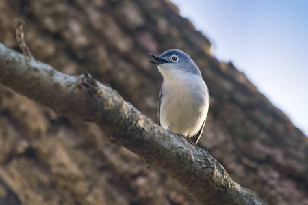 Blue-gray Gnatcatcher Polioptila caerulea perching on a branch during the Spring