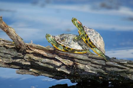 Red-eared Slider pond turtles Trachemys scripta elegans basking on a log in Maryland during the Spring