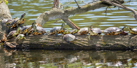 basking: Red-eared Sliders Trachemys scripta elegans and a Painted Turtle Chrysemys picta basking on a log during the Spring Stock Photo