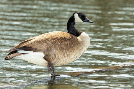 branta: Canada Goose Branta canadensis standing in a lake in Maryland during the Spring