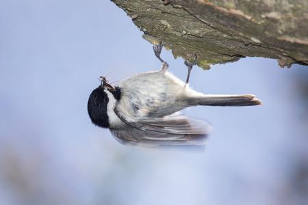 chickadee: Carolina Chickadee Poecile carolinensis foraging for food during the Spring
