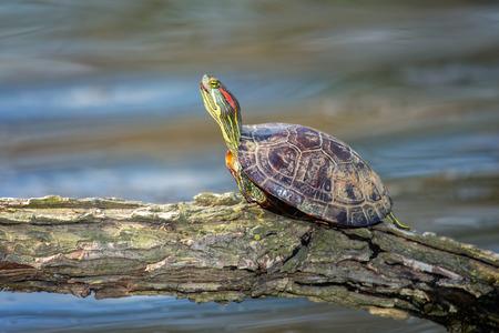 urban wildlife: Red-eared Slider pond turtle Trachemys scripta elegans basking on a log in Maryland during the Spring