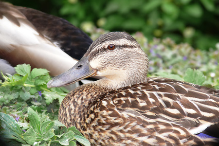 anas platyrhynchos: Mallard duck Anas platyrhynchos resting in wetlands in England during the Spring Stock Photo