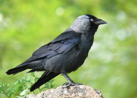 gloucestershire: Jackdaw Corvus monedula perching on a tree stump in Gloucestershire, England