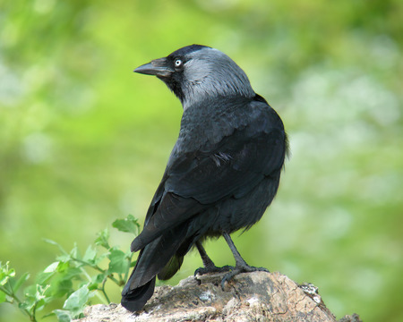 jackdaw: Jackdaw Corvus monedula perching on a tree stump in Gloucestershire, England