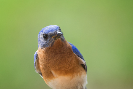 eastern bluebird: Eastern Bluebird Sialia sialis portrait taken in Maryland during the Spring Stock Photo