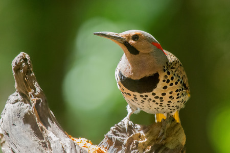Northern Flicker woodpecker Colaptes auratus perching on a tree in Maryland during the Spring Stock Photo