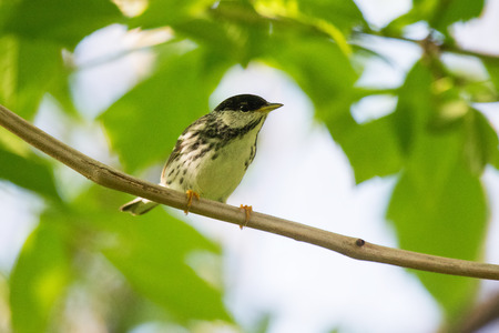 warbler: Blackpoll Warbler Setophaga striata perching on a branch in Maryland during the Spring