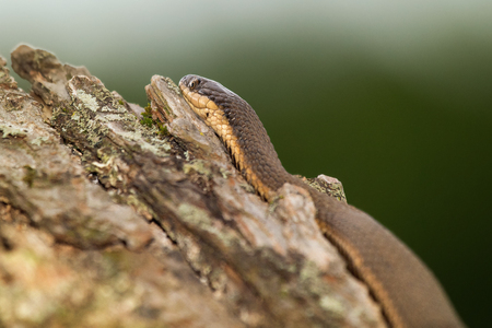 regina: Queen snake Regina septemvittata resting on a tree stump in Maryland during the Spring