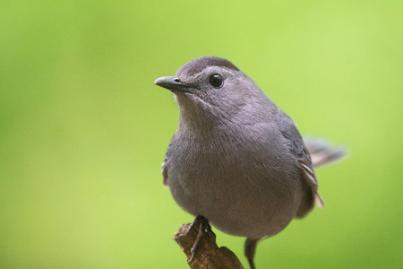 catbird: Gray Catbird Dumetella carolinensis portrait taken in Maryland during the Spring