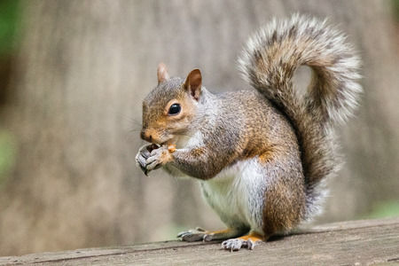carolinensis: Eastern Gray Squirrel Sciurus carolinensis sitting on a bench and eating a nut in Maryland during the Spring Stock Photo