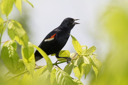 blackbird: Red-winged Blackbird Agelaius phoeniceus perching in a tree in Maryland during the Spring