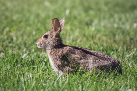 leporidae: Eastern Cottontail rabbit Sylvilagus floridanus sitting in vegetation in Maryland during the Spring