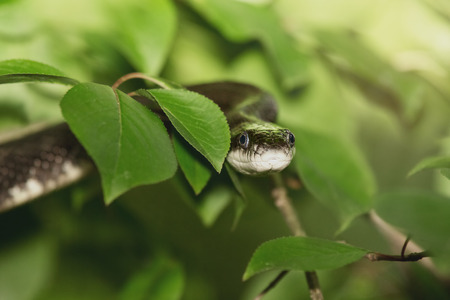 Eastern Ratsnake Pantherophis alleghaniensis resting in a tree in Maryland during the Spring