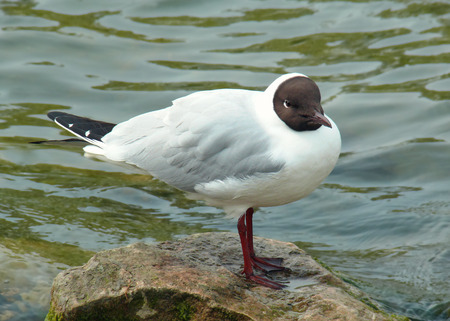 chroicocephalus: Black-headed Gull Chroicocephalus ridibundus standing by a lake in England during the Summer