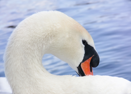 cygnus olor: Mute Swan Cygnus olor portrait taken by a lake in England during the Summer