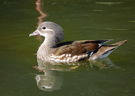 aix galericulata: Mandarin duck Aix galericulata swimming on a lake in England during the Spring