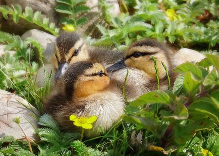 platyrhynchos: Mallard duck Anas platyrhynchos ducklings resting in wetlands in England