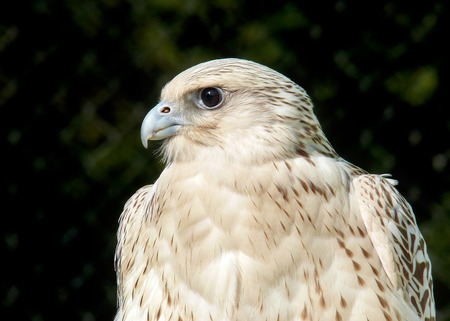 Detailed portrait of a Gyrfalcon Falco rusticolus