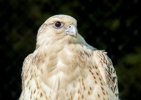 Detailed portrait of a Gyrfalcon Falco rusticolus