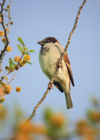House Sparrow Passer domesticus perching on a Ghaf tree in Abu Dhabi, United Arab Emirates Stock Photo