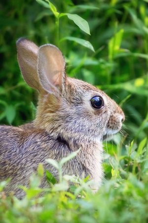 leporidae: Young Eastern Cottontail rabbit Sylvilagus floridanus sitting in vegetation in Maryland during the Summer