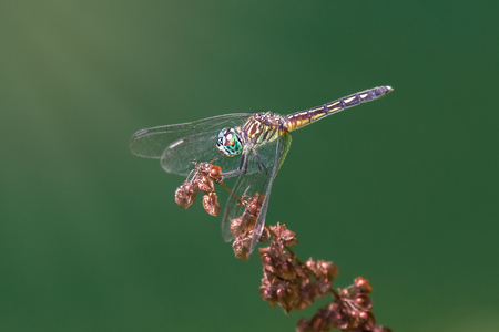 wild grass: Blue Dasher dragonfly Pachydiplax longipennis resting on a wild grass stem during the Summer Stock Photo