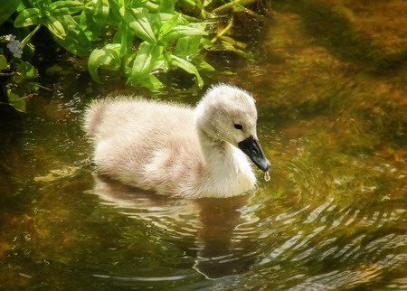 cygnet: Mute Swan Cygnus olor cygnet swimming on a lake in England during the Spring