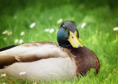 anas platyrhynchos: Mallard drake Anas platyrhynchos resting in wetlands in England during the Spring