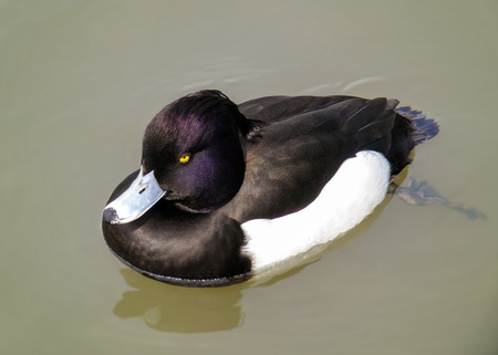 wetland conservation: Tufted Duck Aythya fuligula swimming on wetlands in England during the Spring