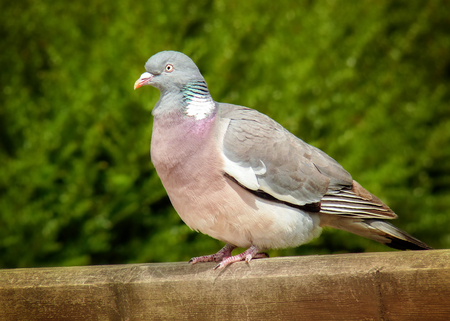 Woodpigeon Columba palumbus perching on a fence in England during the Spring