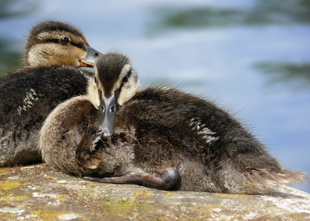 anas platyrhynchos: Mallard duck Anas platyrhynchos ducklings resting by a canal in England Stock Photo
