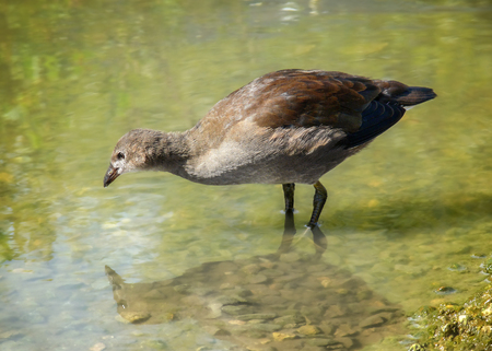 Common Moorhen Gallinula chloropus juvenile foraging in a lake in England during the Spring Stock Photo
