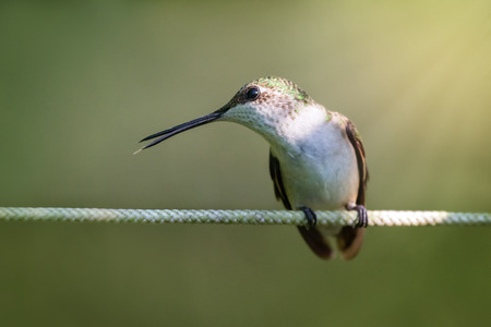 Ruby-throated Hummingbird Archilochus colubris perching in a garden in Maryland during the Summer