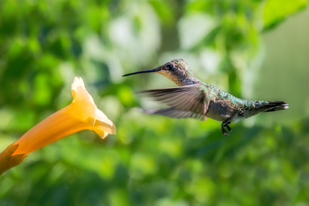 ruby throated: Ruby-throated Hummingbird Archilochus colubris feeding on a flower in Maryland during the Summer Stock Photo