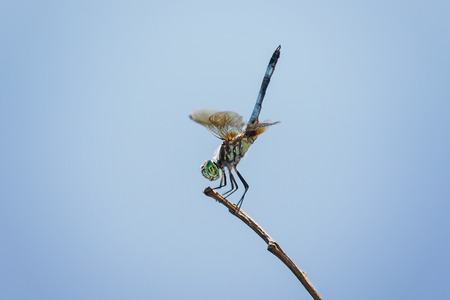 pruinescence: Blue Dasher dragonfly Pachydiplax longipennis resting on a twig in Maryland during the Summer