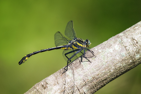 pruinescence: Dragonhunter or Black Clubtail Hagenius brevistylus dragonfly perching on a branch in Maryland during the Summer