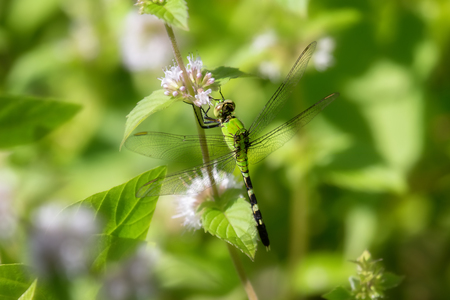 pondhawk: Eastern Pondhawk dragonfly Erythemis simplicicollis resting in grassland in Maryland during the Summer Stock Photo