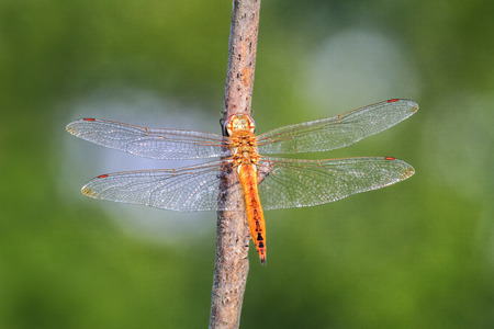 pruinescence: Wandering Glider dragonfly Pantala flavescens perching on a twig in Maryland during the Summer Stock Photo