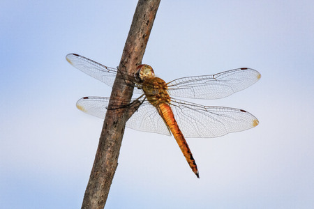 odonatology: Wandering Glider dragonfly Pantala flavescens perching on a twig in Maryland during the Summer Stock Photo