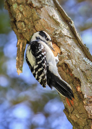 downy woodpecker: Downy Woodpecker Picoides pubescens making a nest hole in a tree during the Summer