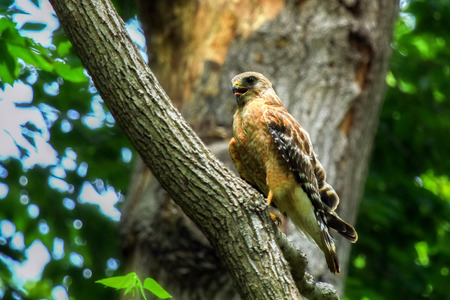 Red-shouldered Hawk Buteo lineatus perching in a tree in Maryland during the Summer Stock Photo