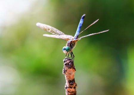 odonatology: Blue Dasher dragonfly Pachydiplax longipennis demonstrating the obelisk posture Stock Photo
