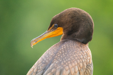 Double-crested cormorant Phalacrocorax auritus portrait taken in Maryland during the Summer