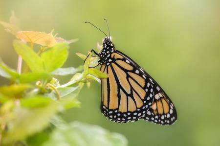 plexippus: Monarch butterfly Danaus plexippus resting on wildflowers in Maryland during the Summer