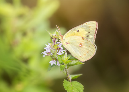 nectaring: Clouded Sulphur Colias philodice butterfly feeding on meadow wildlfowers in Maryland during the Summer
