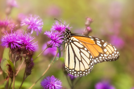 nectaring: Monarch butterfly Danaus plexippus feeding on wildflowers in Maryland during the Summer